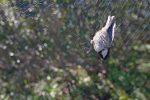 En partant, cet oiseau s'est pris sous mes yeux, vite une photo. Par contre la mise au point s'est faite sur le filet et non l'oiseau, zut !