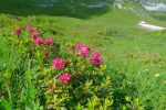 Fort jolis ces rhododendrons
