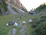 Alpja, 2099m et ses moutons (race valaisanne)