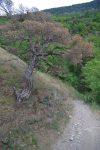 Fin de vie pour ce vieil arbre courbé par le vent