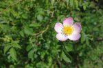 Fleur de rosier