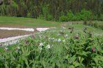 Un tapis de Narcisse. J'en ai jamais autant vu que dans ce secteur (chaine depuis la Cape au Moine)