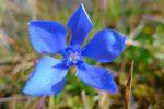 Les gentianes sont des fleurs courageuses, milieu de l'automne