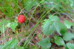 Lot de consolation, les fraises des bois qui furent assez abondantes sur le parcours
