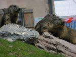 Ces marmottes ne sont pas ou peu sauvages