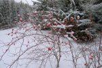 Le Cynorrhodon est une valeur sûre pour les couleurs en hiver