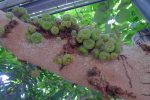 Figues qui poussent sur le tronc