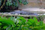 Une autre race de crocodile