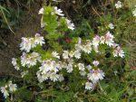 Les euphraises tiennent longtemps dans la saison