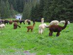 Et juste avant de retrouver le parking, un troupeau d'alpagas