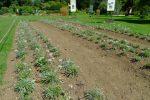 Une plantation d'edelweiss