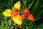 Des lys, Lilium Pumilium