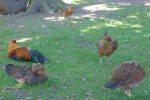 Quelques poules et coq sont avec les chèvres