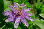 Fleur d'un cafeier d'Arabie