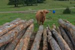 Curieuse les vaches highlands, mais peureuse aussi !