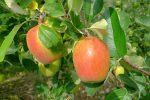 Dans le Valais, ce sont les pommes, dans le canton de Vaud ce sont les pommes la spécialité