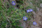 Des fleurs de lin