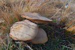 Toujours pas d'edelweiss, mais des champignons