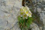 On dirait des saxifrages, première fois que je vois ces fleurs fort jolies