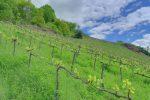 Notez la présence d'herbe dans la vigne.