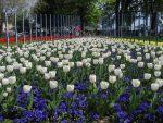 Et voilà les tulipes à Morges