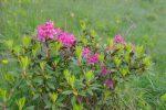 Des rhododendrons qui mettent un peu de couleurs dans cette balade !
