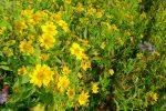 Le long de la route, Villars-sous-Yens (vers Morges), un champ qui débordait de fleurs, dont j'ignore le nom. Il me semble que ce sont des plantes pour régénérer le sol