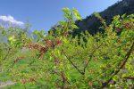 Cerisiers ou abricotiers ?