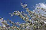 Arbre (abricotier ?) en fleur