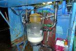 Le collecteur de la machine, puis le lait est acheminé par tuyau dans le chauderon