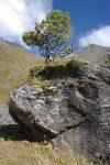 Un arbre bien insolite !