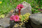 De jolies fleurs, ici joubarbe