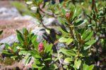 Rhododendrons en début de floraison