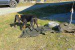 Un chien de chasse peureux, jamais vu cela !