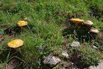 Ils sont nombreux ces champignons jaunes