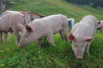 Des cochons qui étaient bien curieux !