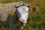 Orthodentie pour les vaches. Ma photo est centrée, zut. Il aurait fallu décaler vers la gauche, je m'en veux !