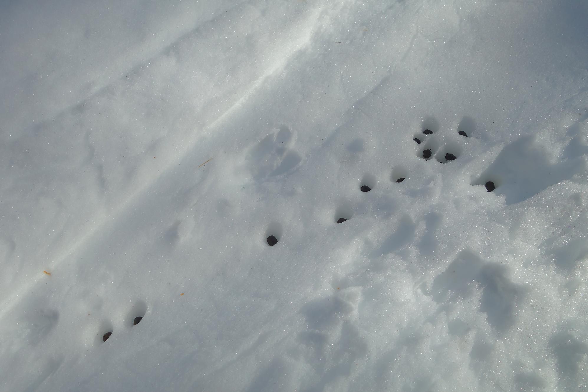 crottes de chamois pictures - photo #24