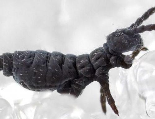 Collembole nivicole, puce des glaciers (neiges ou névés)