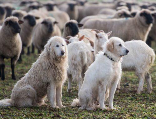 Peur du patou (chien de protection du troupeau) ? Comment se comporter